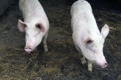 Un par de cerdos para autoconsumo