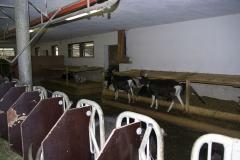 Cabras en el establo, sin medicamentos químicos durante más de 10 años.