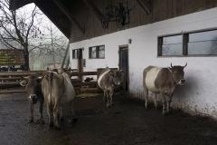 Plano general de las vacas