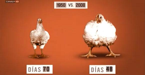 Producción de pollos a nivel industrial