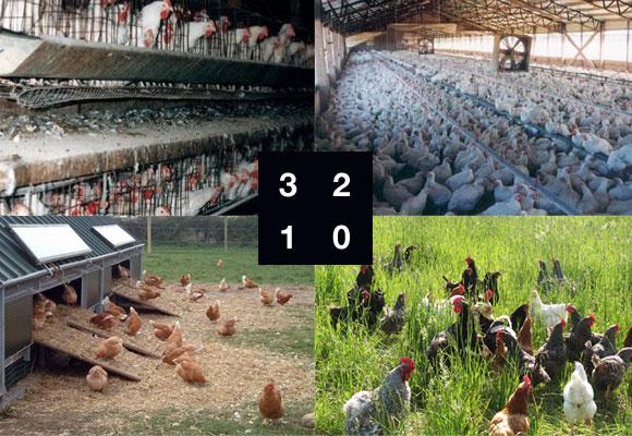 Tipos de gallinas y de huevos