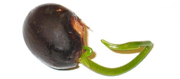 Semilla de planta