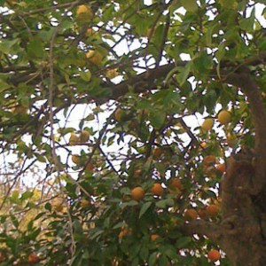 naranjo-limonero