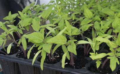 plantel-de-tomates