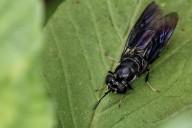 mosca soldado negra