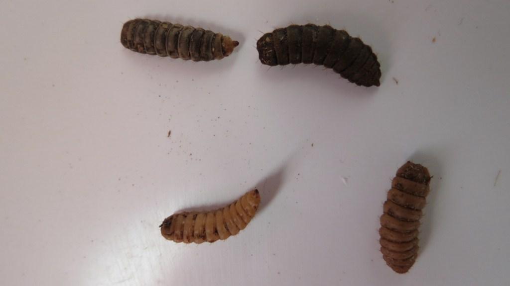larva mosca soldado negra