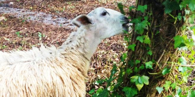 oveja-comiendo-hiedra