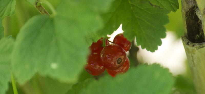 frutos-silvestres